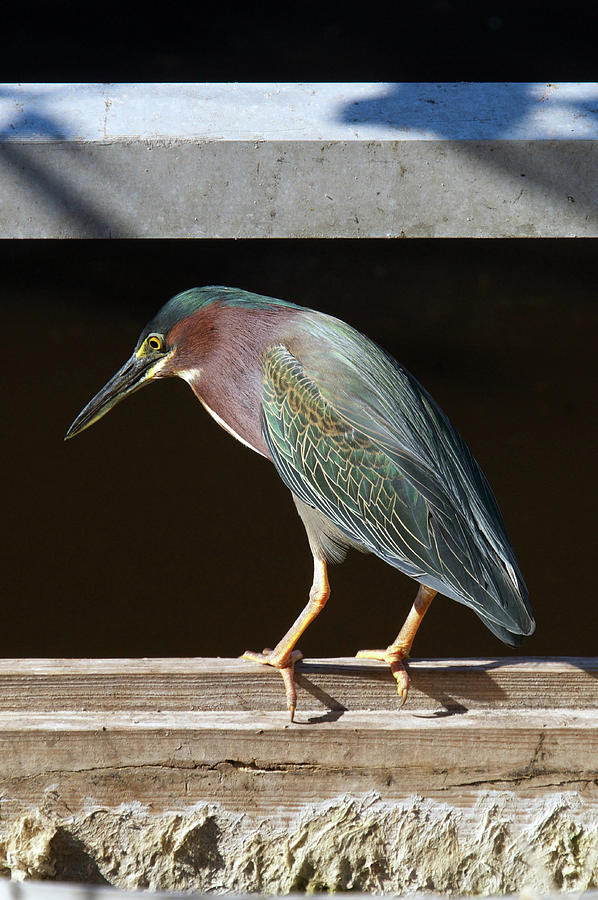 Green Heron Photograph - Just Fishing by Melissa Southern