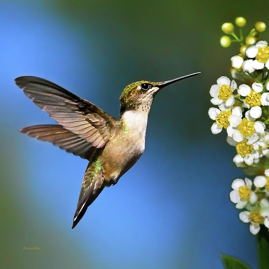 Just Looking Hummingbird Square Photograph