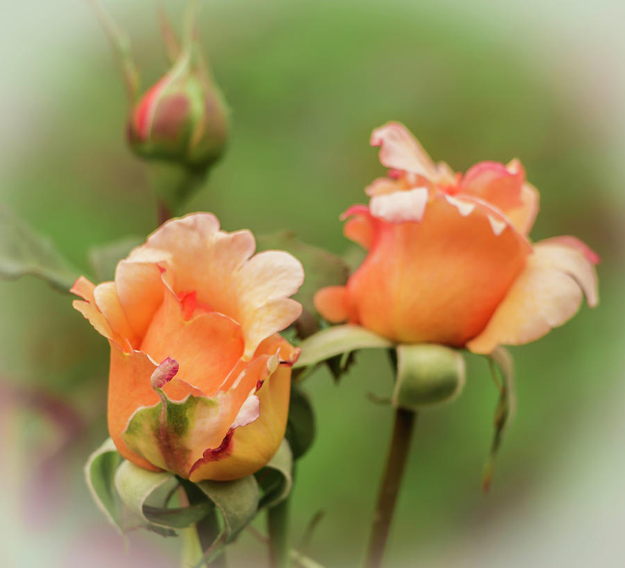 Roses Photograph - Just Peachy by Venetia Featherstone-Witty