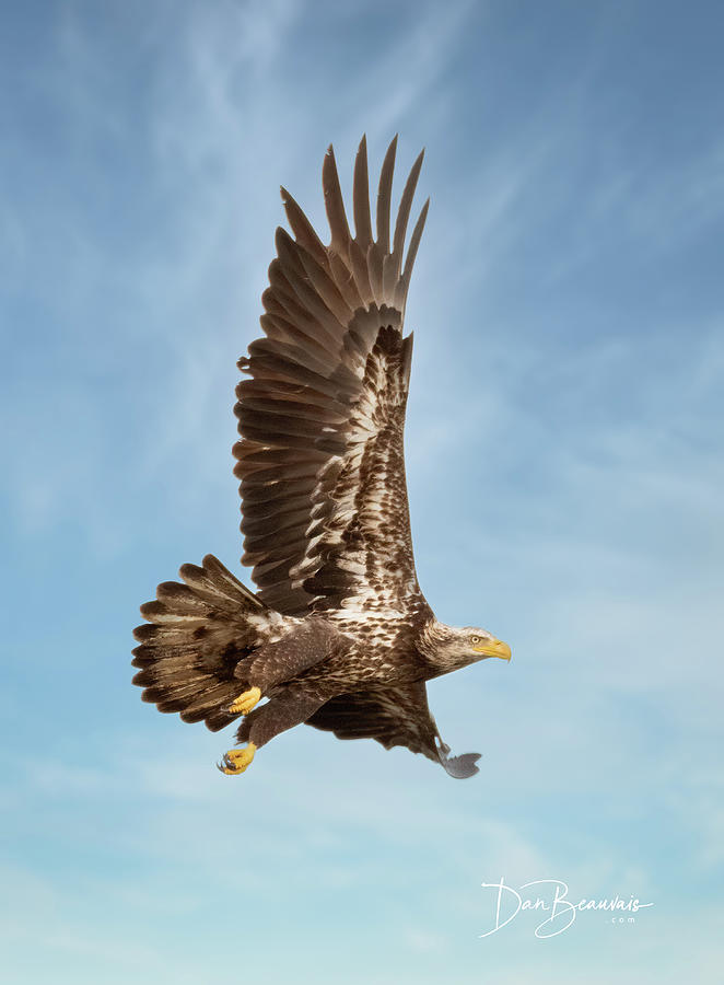 Juvenile Bald Eagle In Flight 1033 Photograph