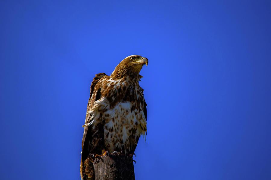 Juvenile Bald Eagle by Kevin Banker