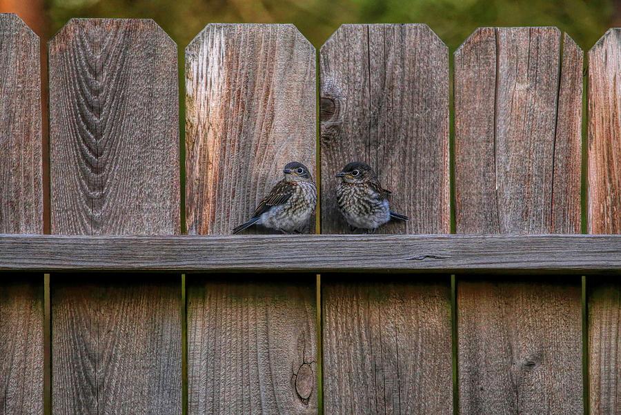 Juvenile Bluebird Siblings Photograph
