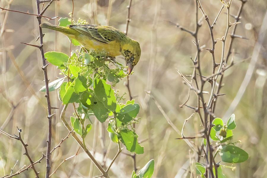Juvenile Holubs Golden Weaver Photograph