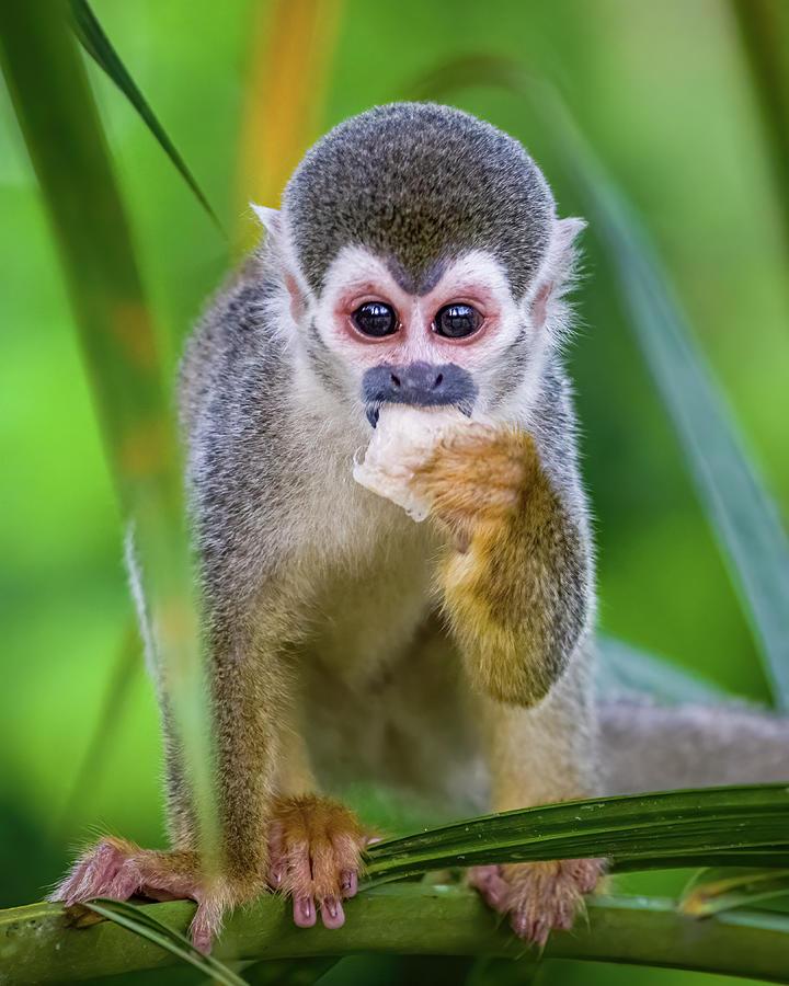 Juvenile Humboldts Squirrel Monkey Kofan Puerto Asis Colombia by Adam Rainoff