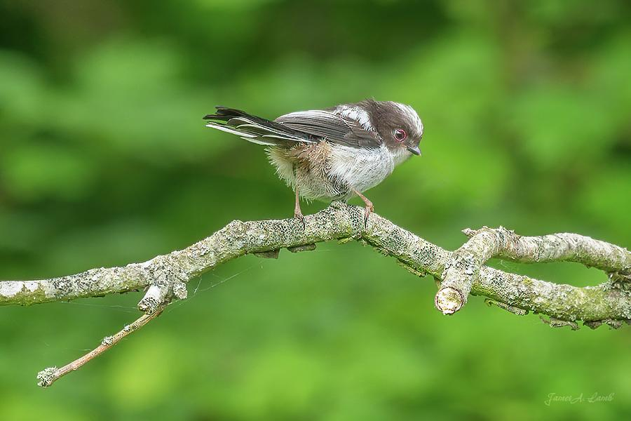 Juvenile Long-tailed Tit by James Lamb