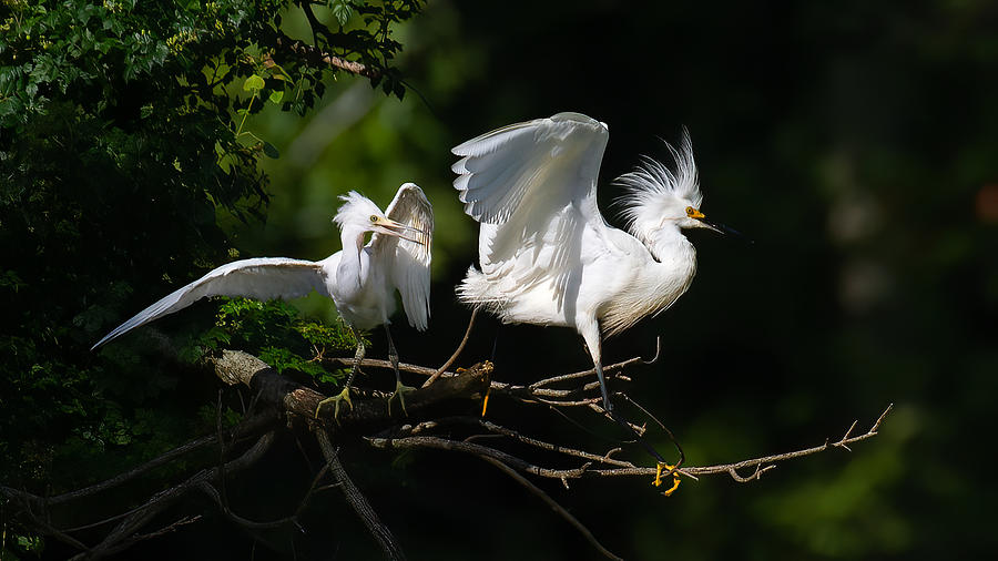 Juvenile Snowy Egret With Adult Photograph by Larry Maras
