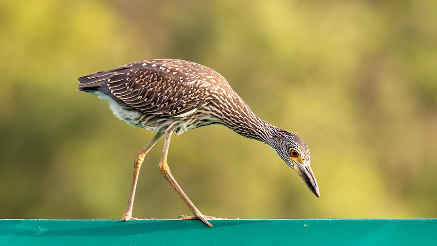 Juvenile Yellow-crowned Night Heron Photograph by Larry Maras