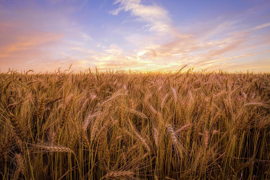 Kansas Wheat by Scott Bean