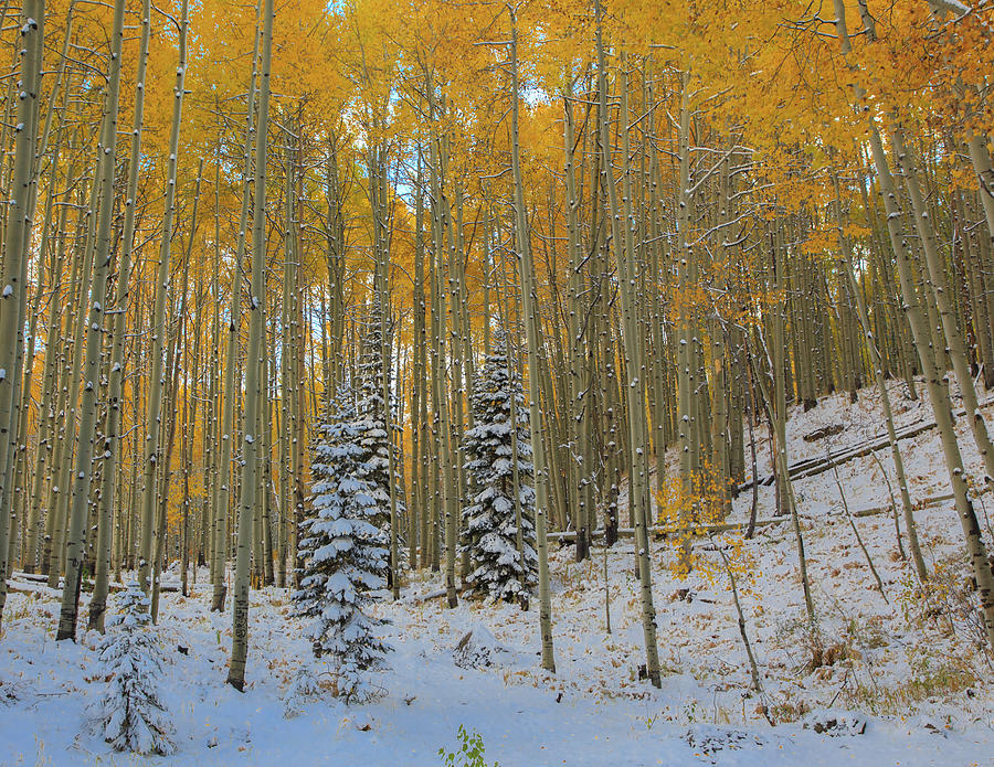 Kebler Pass Frosty Trees And Golden Aspens Photograph