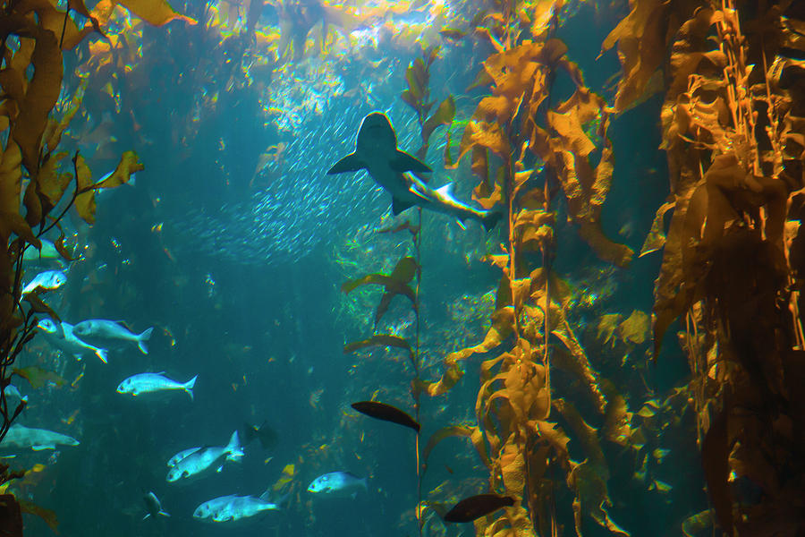 Kelp Forest with Shark by Bonnie Follett