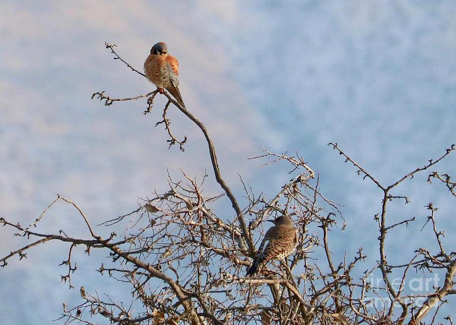 Kestrel and Northern Flicker by Carol Groenen