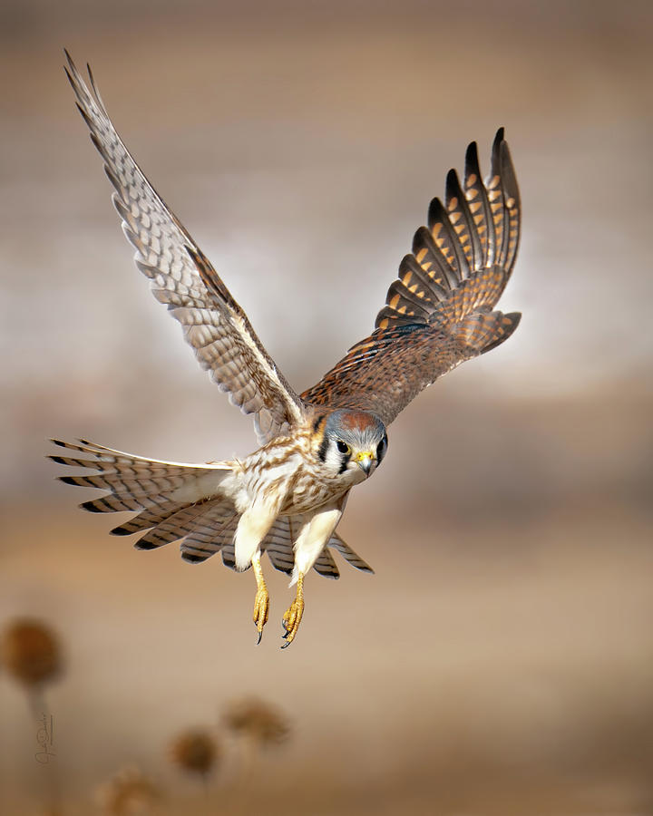 Kestrel Flying Low by Judi Dressler