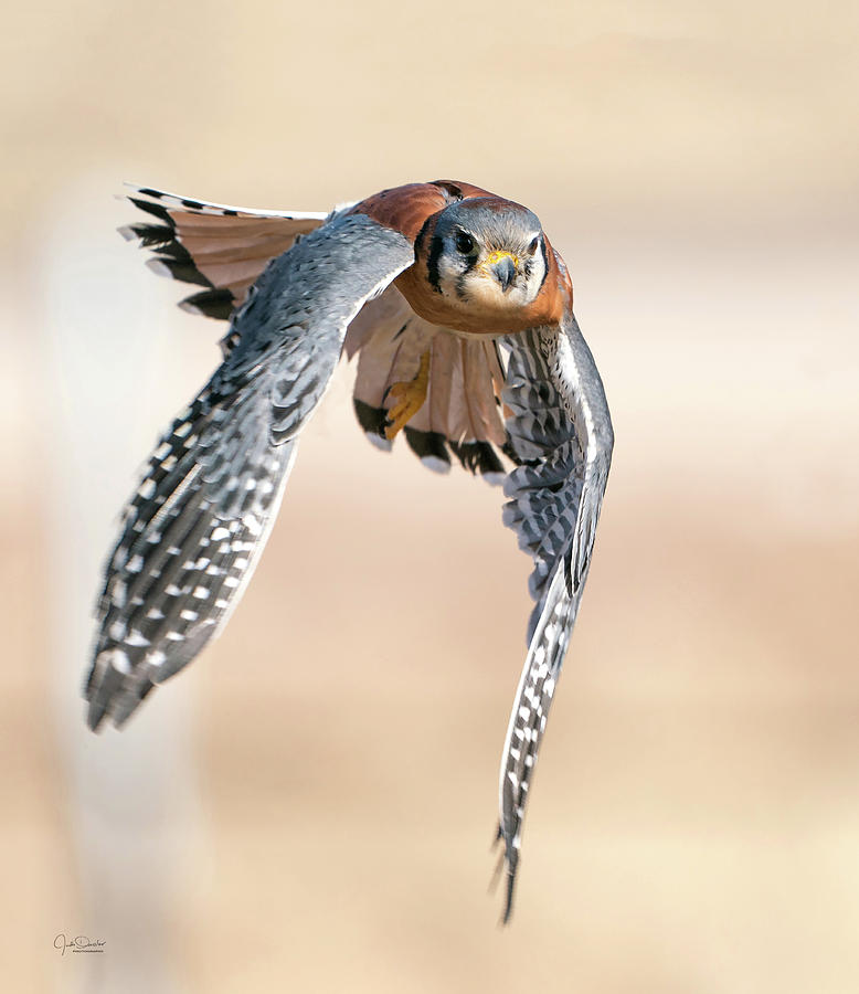 Kestrel - incoming by Judi Dressler