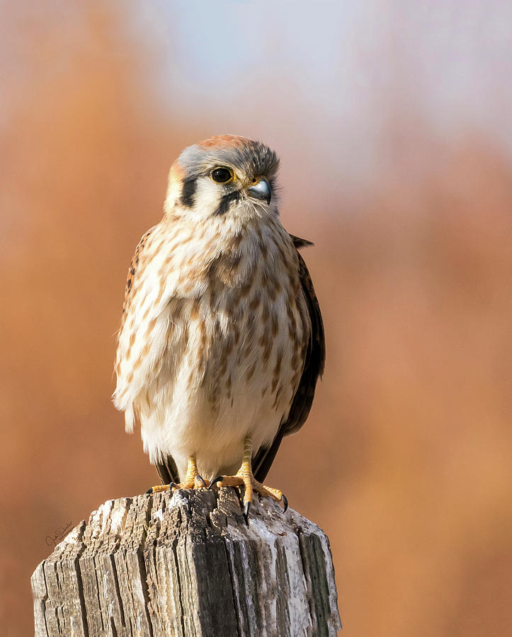 Kestrel on a Post by Judi Dressler