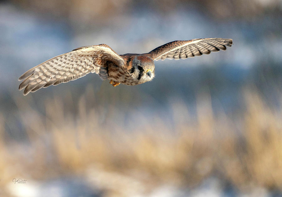 Kestrel on the Wing by Judi Dressler