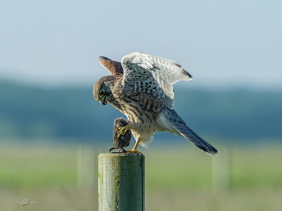 Kestrels Landing With The Prey On The Roundpole Photograph