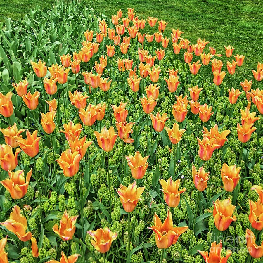 Keukenhof Tulips Photograph