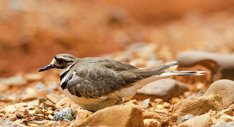 Bird Photograph - Killdeer Bird by Jim Cook