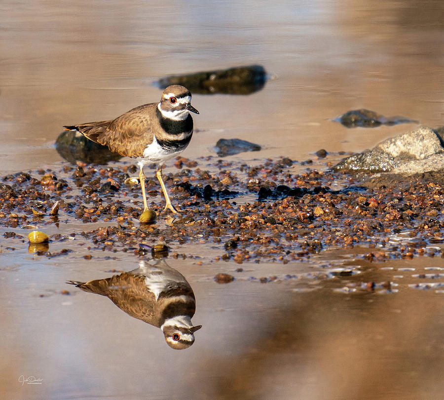 Killdeer Reflection by Judi Dressler