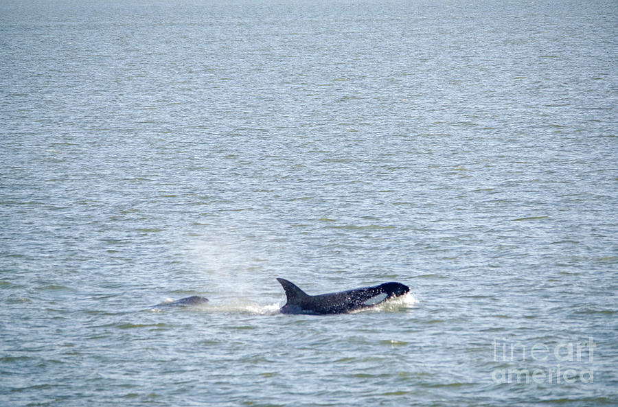 Whale Photograph - Killer Whale And Baby Calf by Jeff Swan