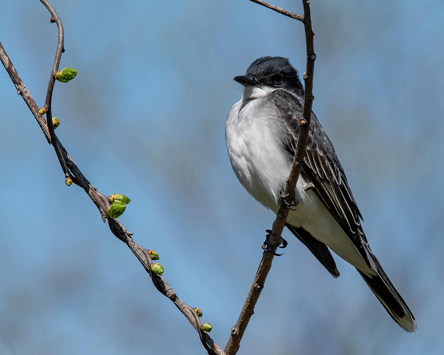 Kingbird In Spring Photograph