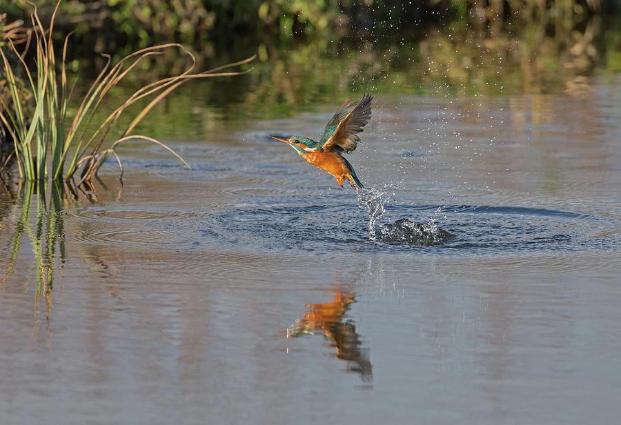 Kingfisher Fishing by Peter Walkden