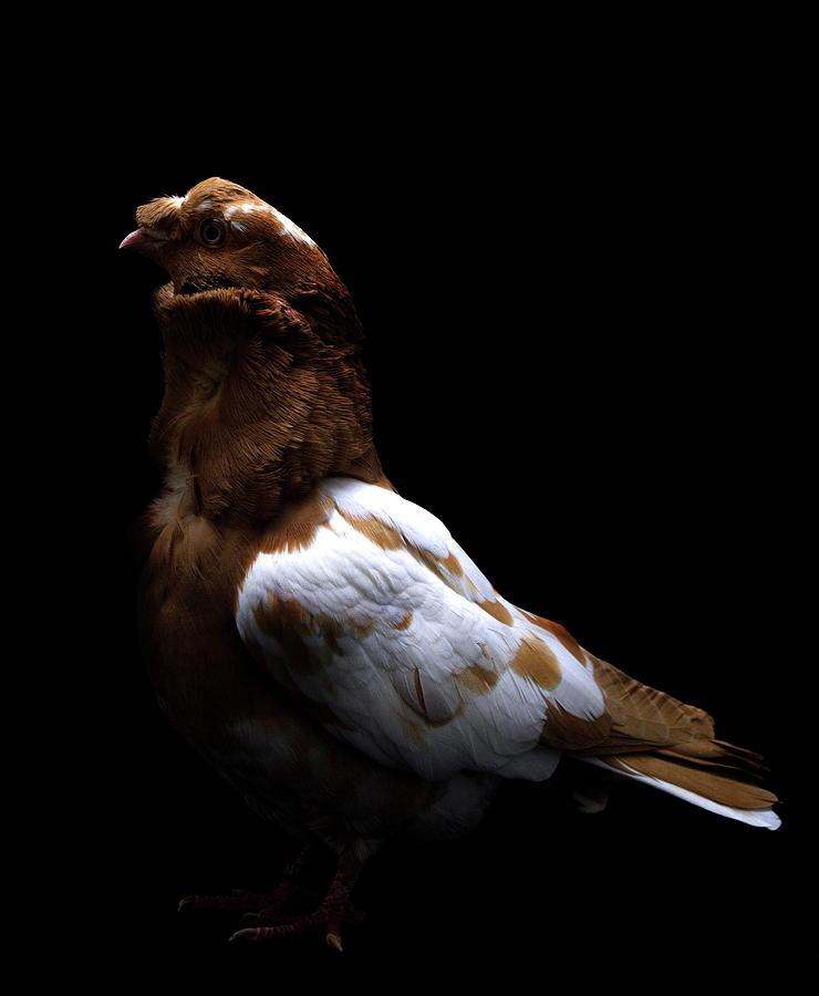 Kishki Pigeon by Nathan Abbott