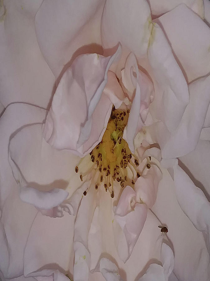Macro Photograph - Kissed By A Rose by Holly Morris