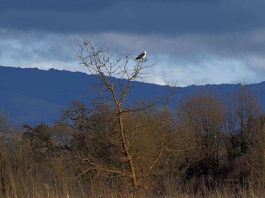 Kite by Richard Thomas
