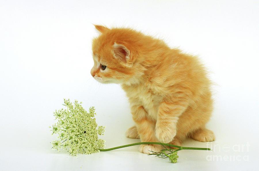 Kitten With Flower Photograph