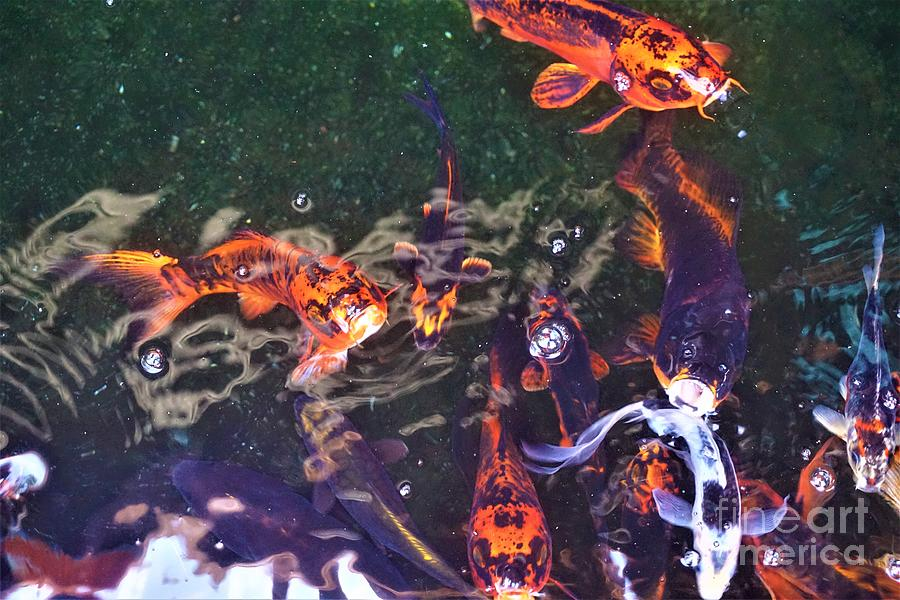 Koi Fish in a Pond II by Jimmy Clark