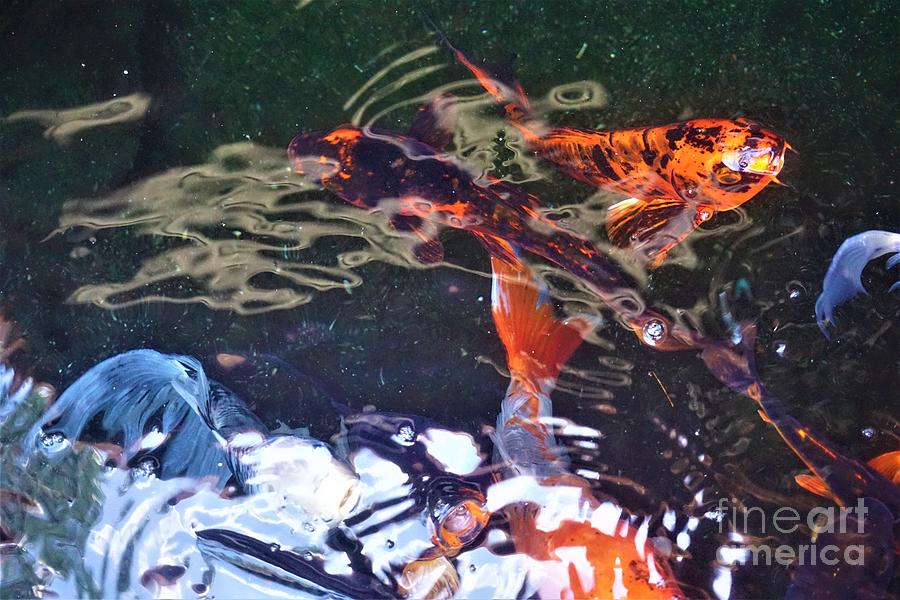 Koi Fish in a Pond III by Jimmy Clark