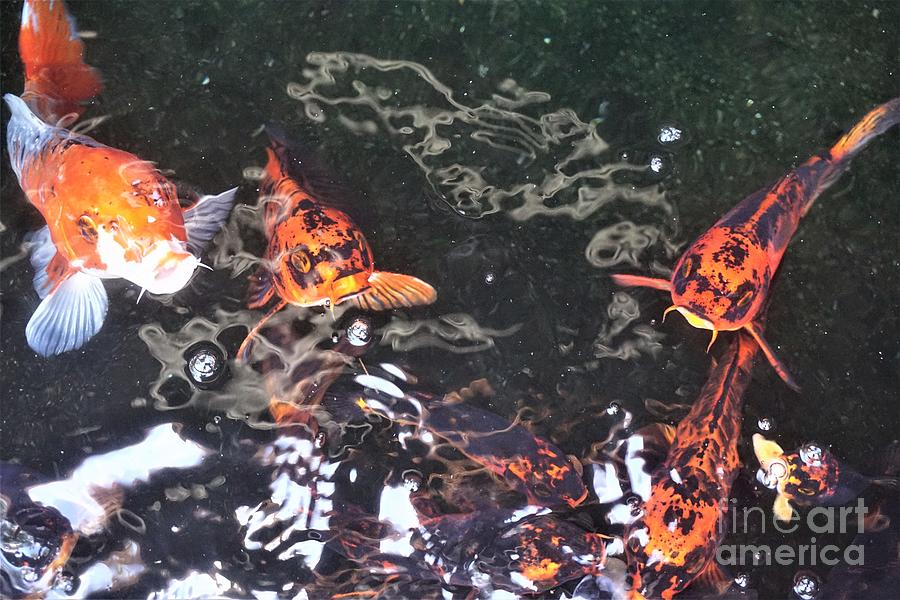 Koi Fish in a Pond IV by Jimmy Clark