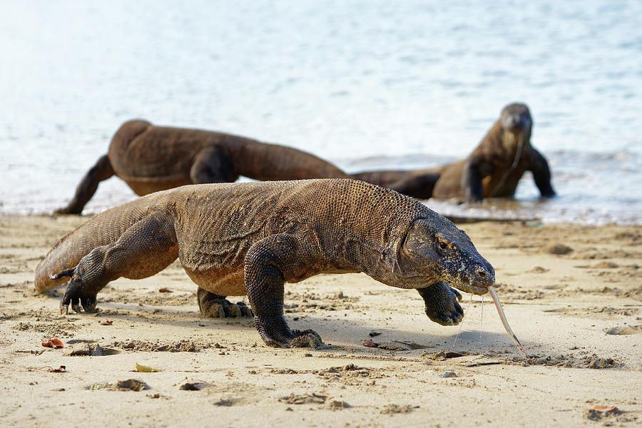 Komodo Dragons On The Beach Photograph