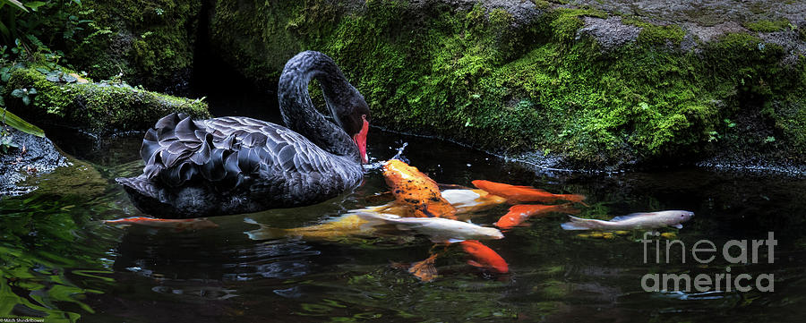 Koy Fish Photograph - Koy And Black Swan by Mitch Shindelbower