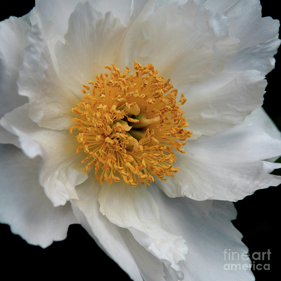 Krinkled White Peony Photograph