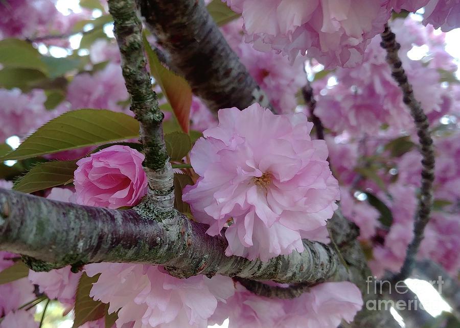Cherry Tree Photograph - Kwanzan Cherry Blossoms In Their Prime by Kristin Aquariann