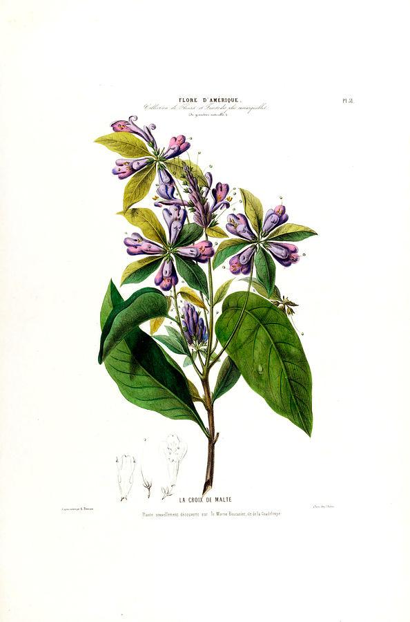 La Croix De Malte Purple Vintage Flore D Amerique Botanical by Vintage Botanical Gallery