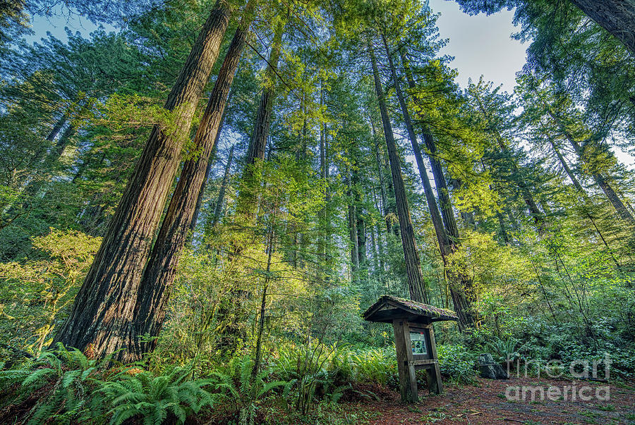 Lady Bird Johnson Grove Nature Trail Redwood Forest Photograph