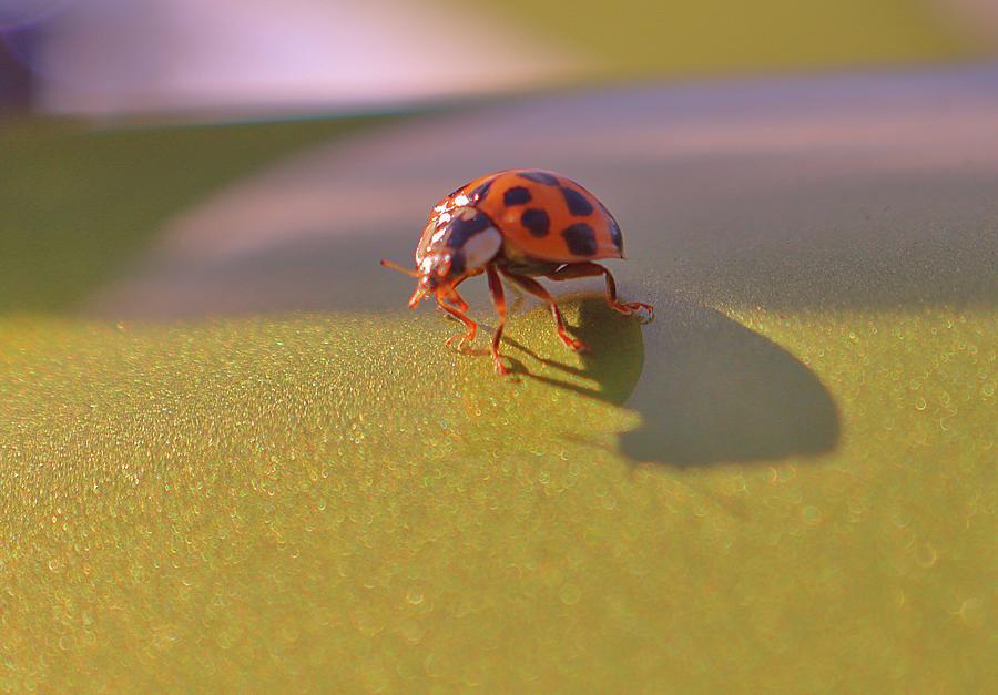 Lady Bug Luck Photograph