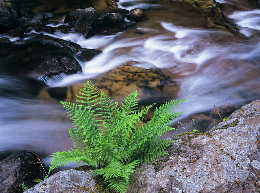 Lady Fern on Sweet Creek by Robert Potts