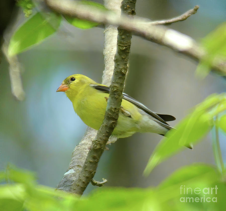 Lady In Yellow - Female Goldfinch Photograph