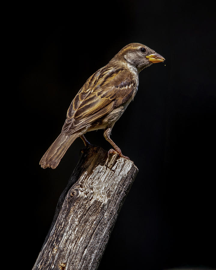 Lady Sparrow Photograph