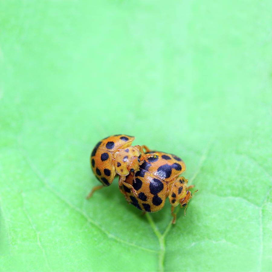 Ladybird Photograph - Ladybird Love by Siene Browne