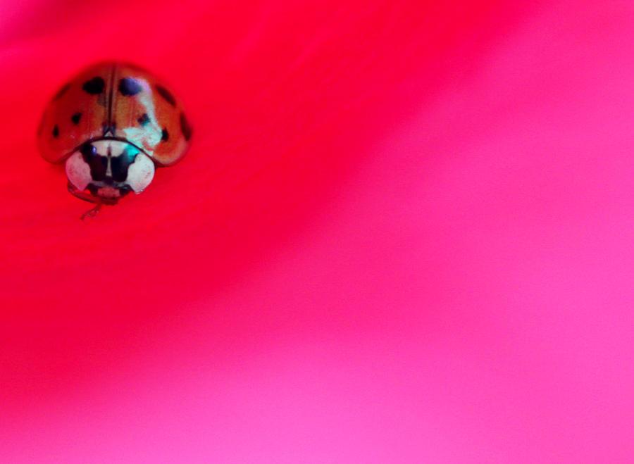 Ladybug by The Art Of Marilyn Ridoutt-Greene