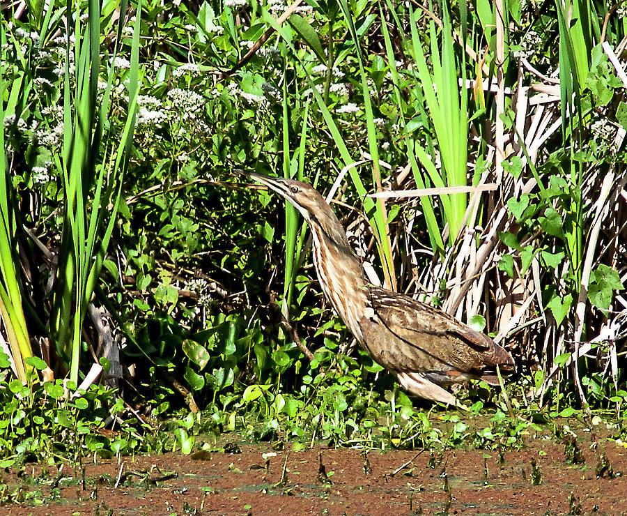 Lake Apopka Bittern Photograph