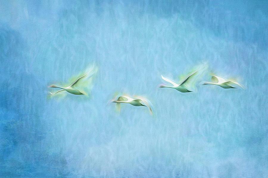 Lake Balaton Swans Art Photograph