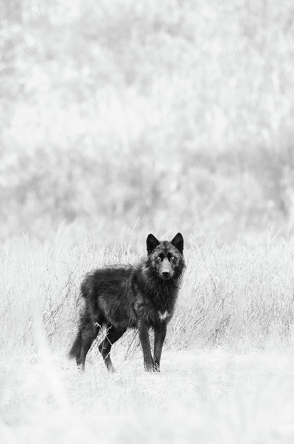 Lamar Wolf Monochrome 2 by Max Waugh