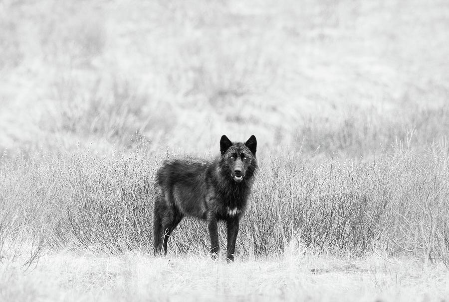 Lamar Wolf Monochrome by Max Waugh