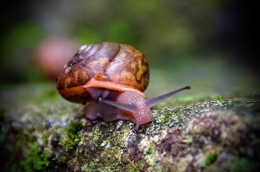 Land Snail II Photograph